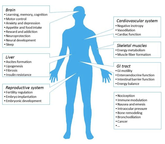 Ways the endocannabinoid system can affect the human body