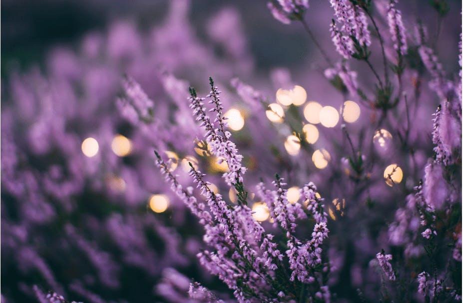 lavender flowers - Linalool