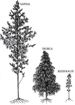 Sativa, indica and rudralis