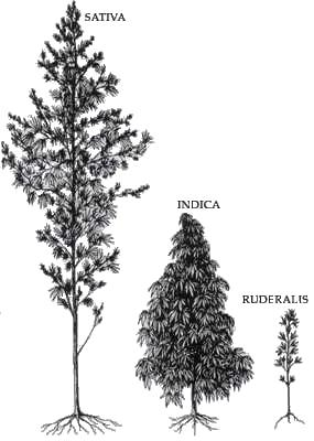 Sativa, indica and rudralis