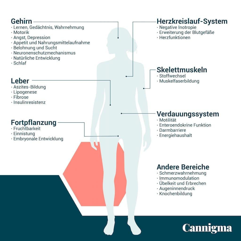 Wirkweisen des Endocannabinoid-Systems im Körper