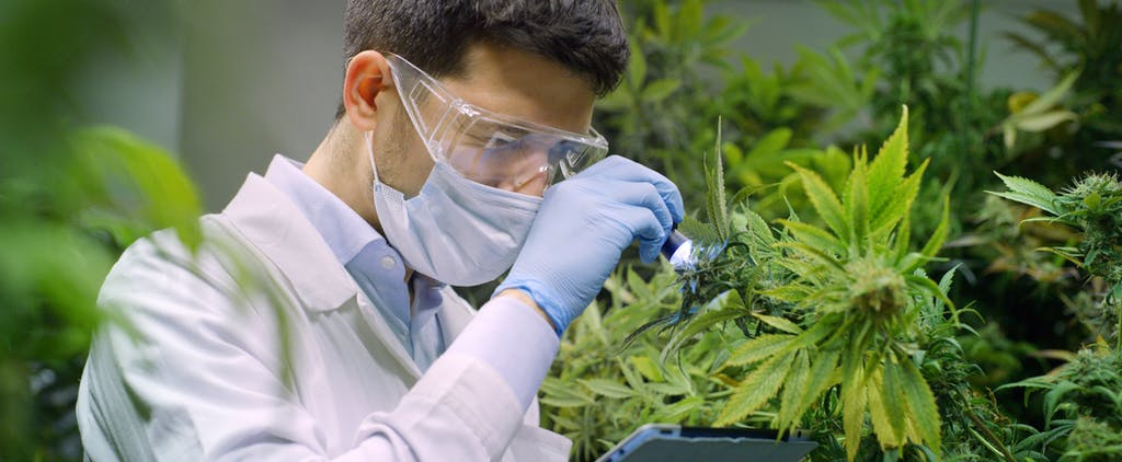Scientist examining cannabis plant