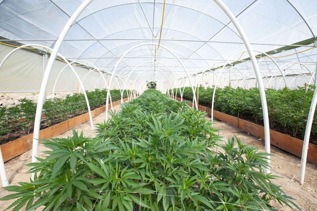 O cultivo indoor da cannabis é realizado em salas ou estufas