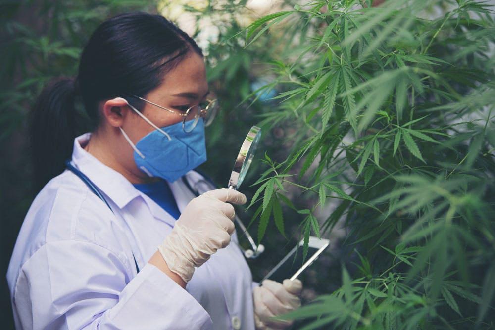 Scientist examining cannabis plant