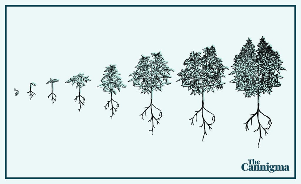 Cannabis-Cultivation-Graphic-Cannigma-1