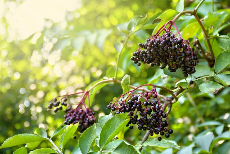 The liquid extract made from the plant's berries is said to be active against human pathogenic bacteria as well as influenza viruses.