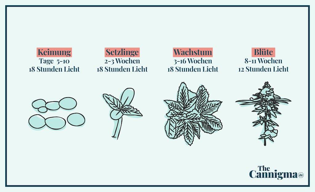 Vom Keim bis zur Blüte, die Stadien der Cannabispflanze