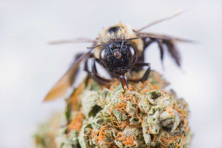 bee on cannabis flower