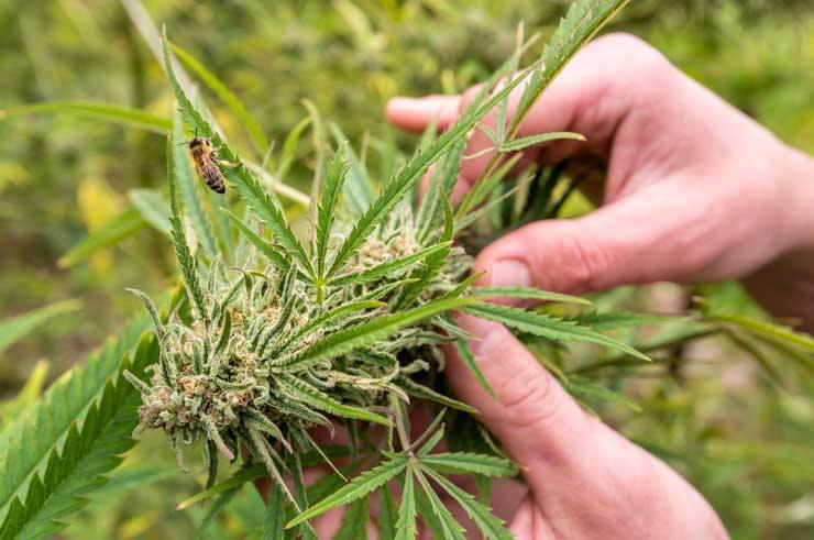 A bee on a cannabis plant