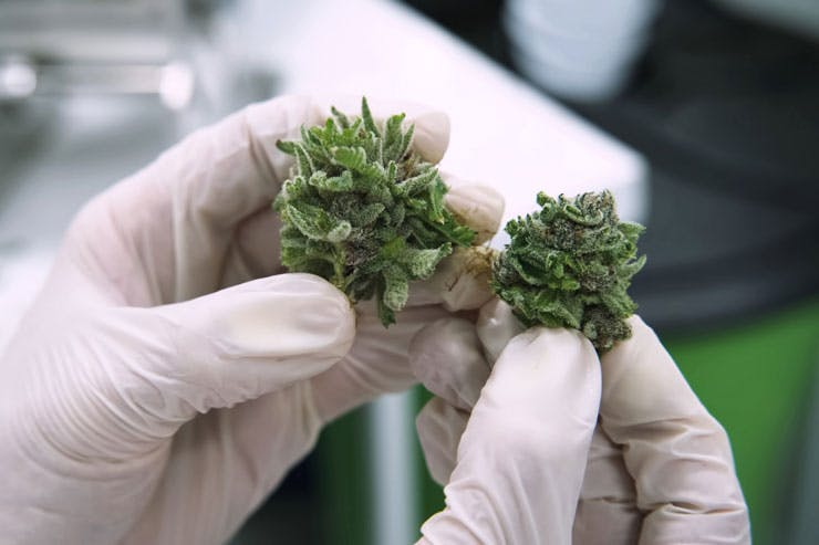 Scientist examining marijuana flowers