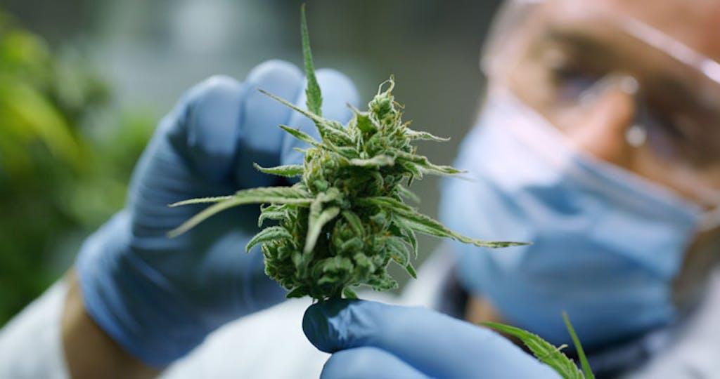 O mofo na cannabis aparece quando ela é exposta a calor e umidade.