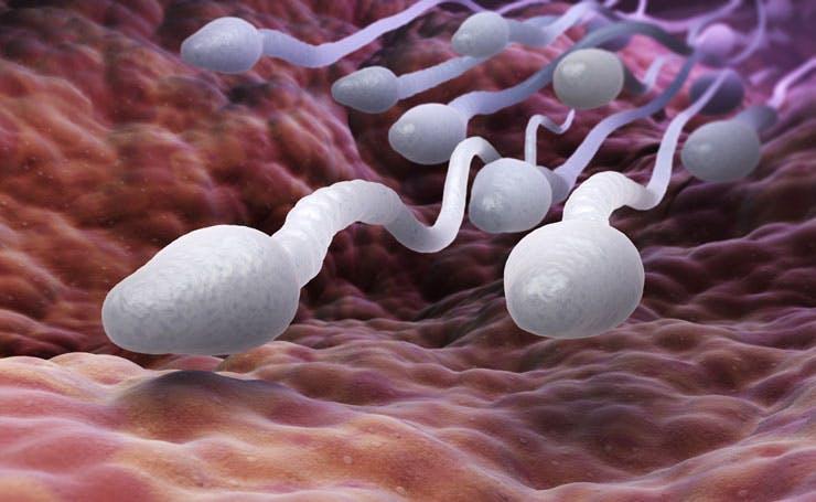 sperm in a Fallopian tube
