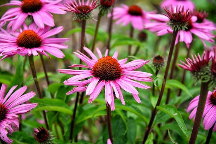 Flor de equinácea é uma planta medicinal que ajuda a combater o resfriado e a gripe.