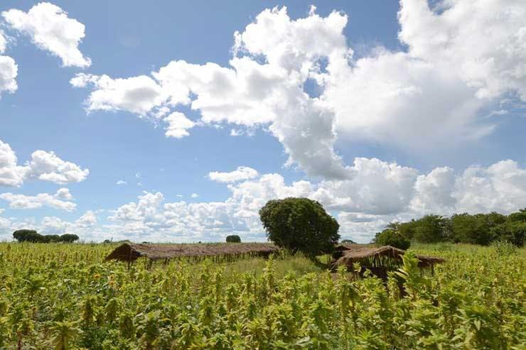 malawi tobacco farm