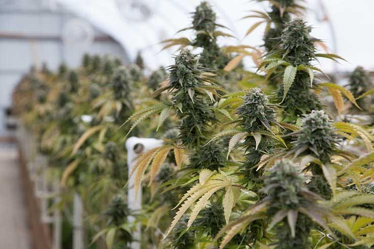 Cannabis plants growing