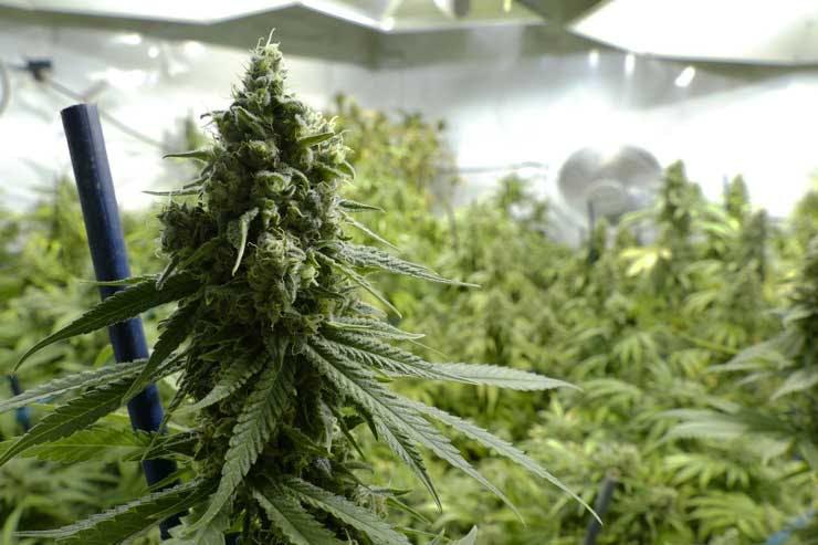 Marijuana bud in indoor grow room