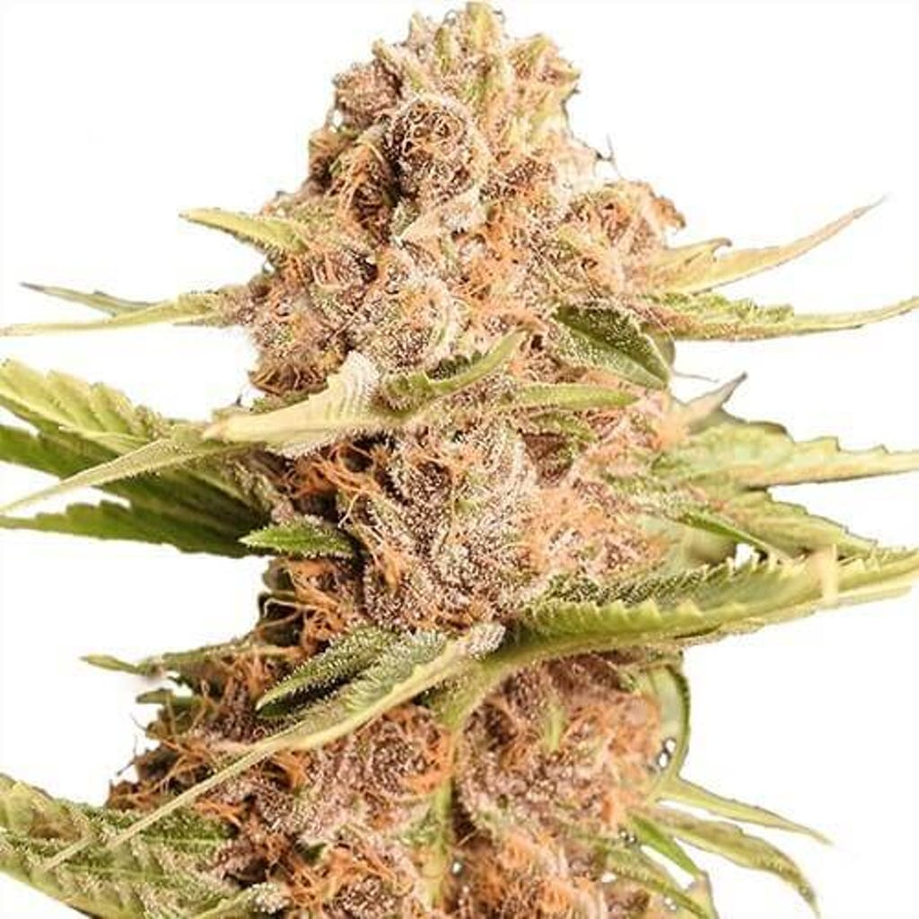 Girl Scout Cookies cannabis strain