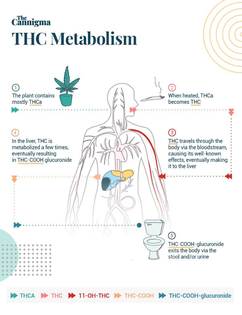 THC metabolism when inhaled