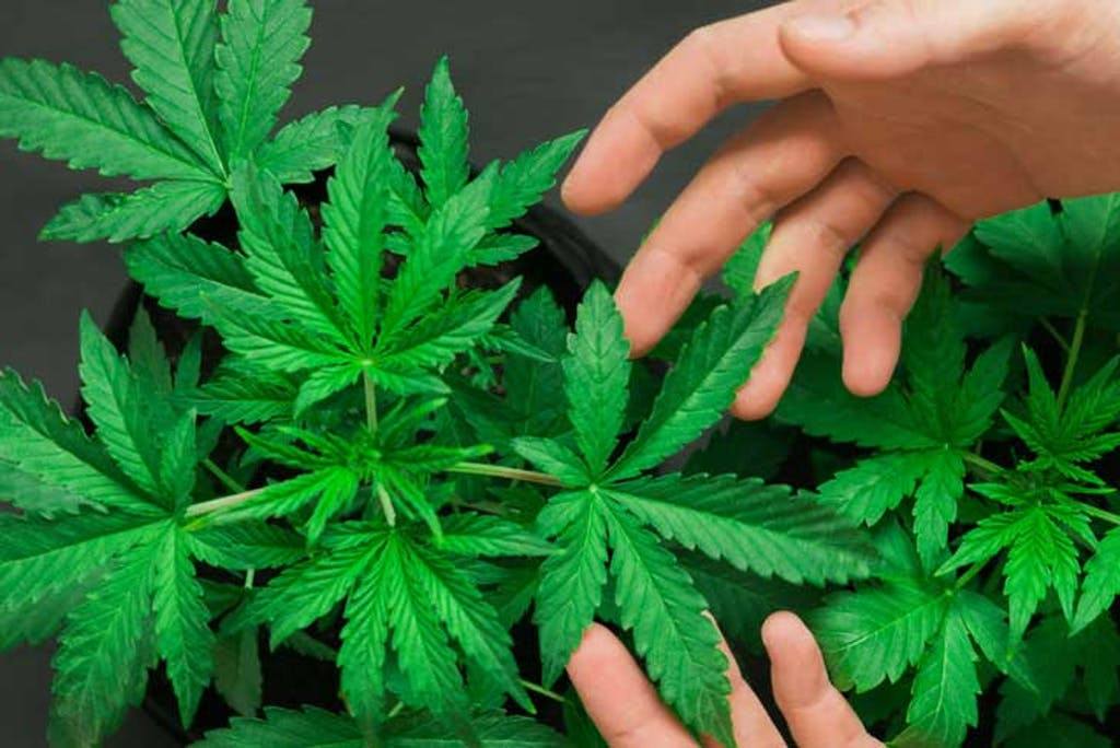 The most common cannabinoids found in cannabis plants are THC and CBD