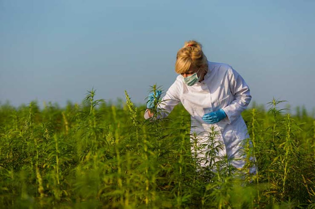 A scientist examines cannabis plants