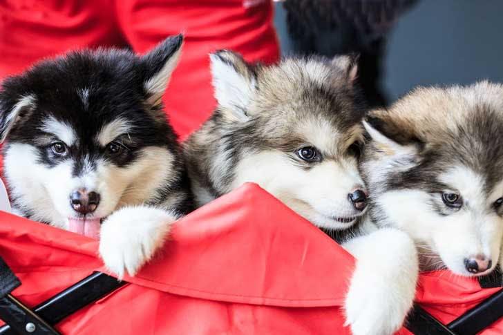 A litter of husky puppies