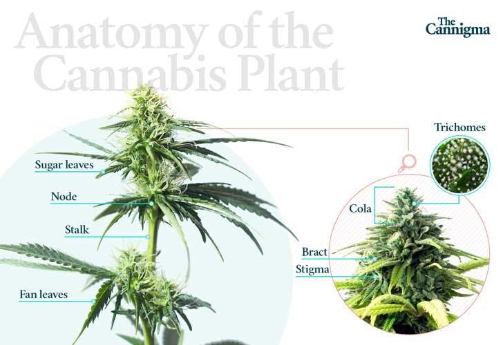 Anatomy of the Cannabis Plant
