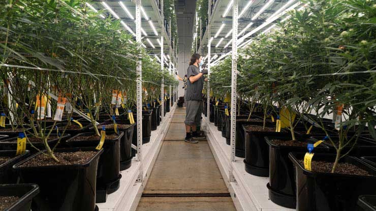 A cannabis breeder tends to his plants
