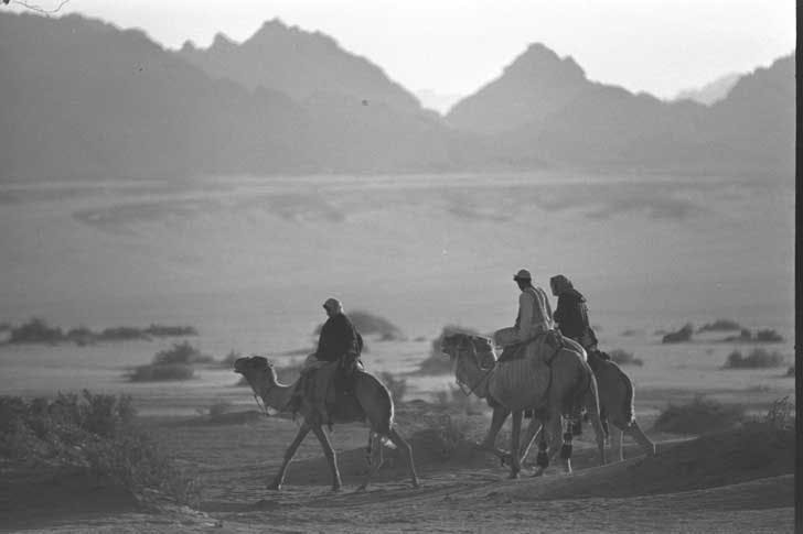 Bedouin riding camels in the southern Sinai