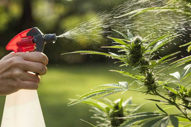 Spraying cannabis plants with pesticides