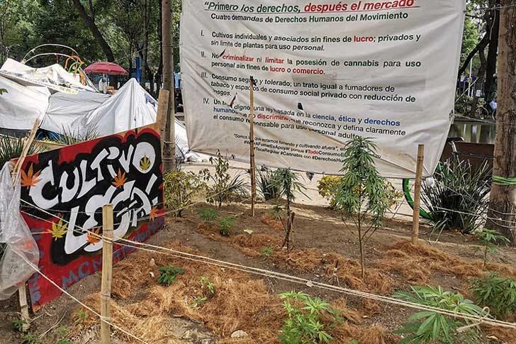 Cannabis garden outside the Mexican Senate