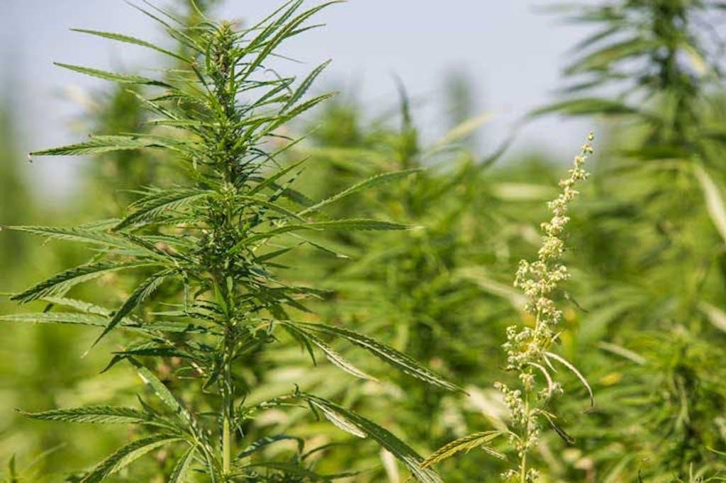 Cultivo de cannabis outdoor, em estufa ao ar livre