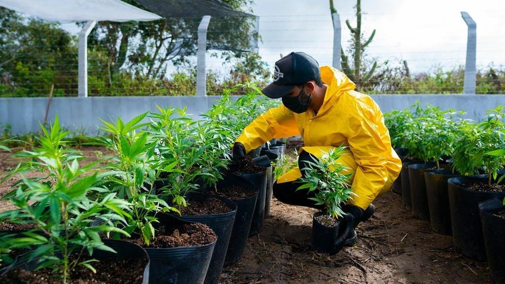 Cultivo de Cannabis em Campina Grande, Abrace Esperança