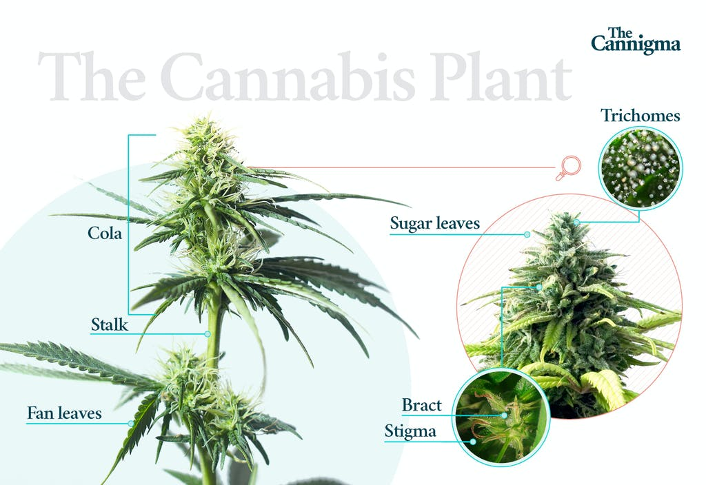 The morphology of the cannabis plant