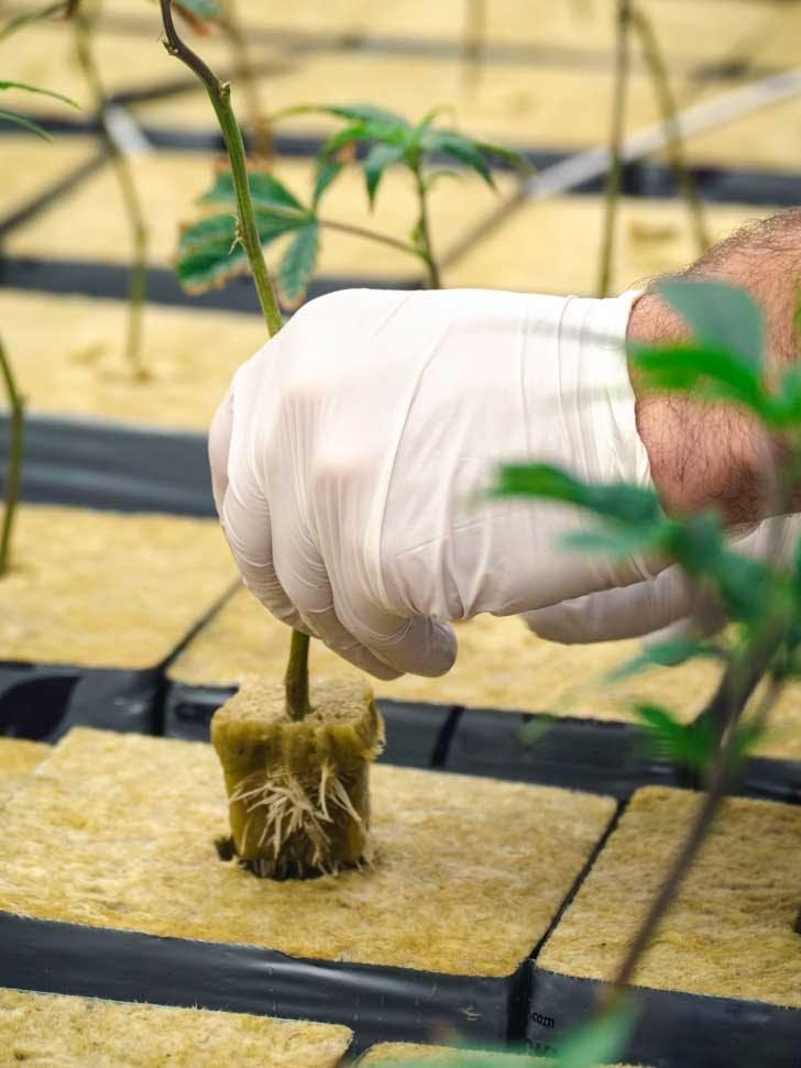 A cannabis clone in a rock wool cube