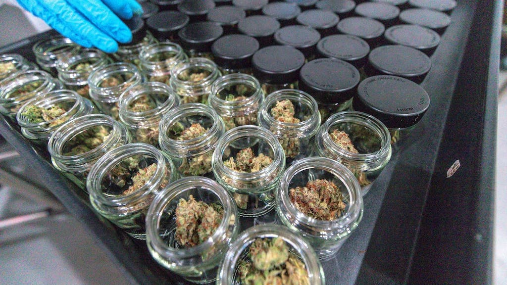 Harvested cannabis buds cure in mason jars