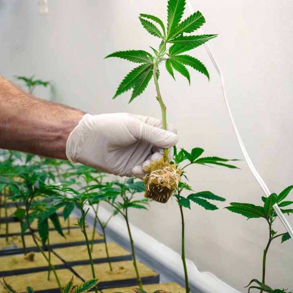 Clone de cannabis