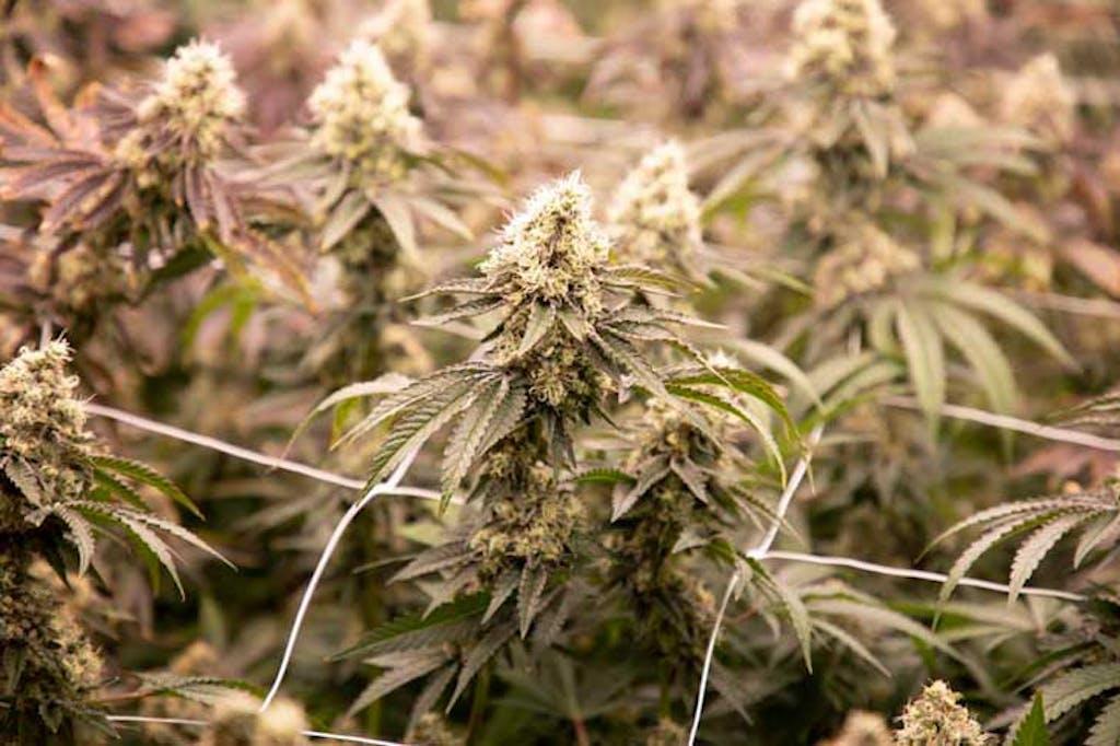 cannabis em floração
