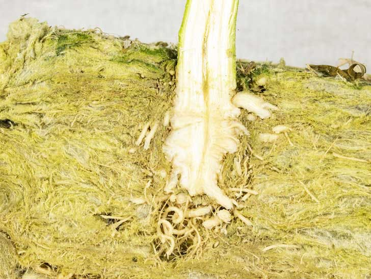 cannabis clone rooting