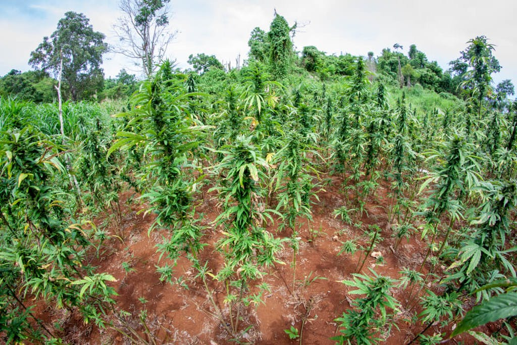 organic marijuana farm jamaica