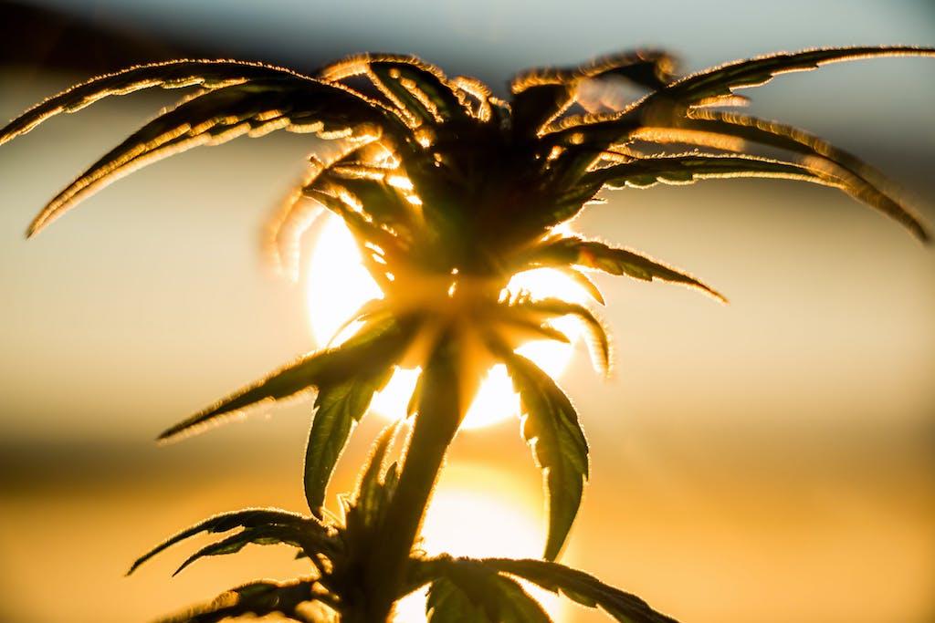 Marijuana Plant at Sunrise