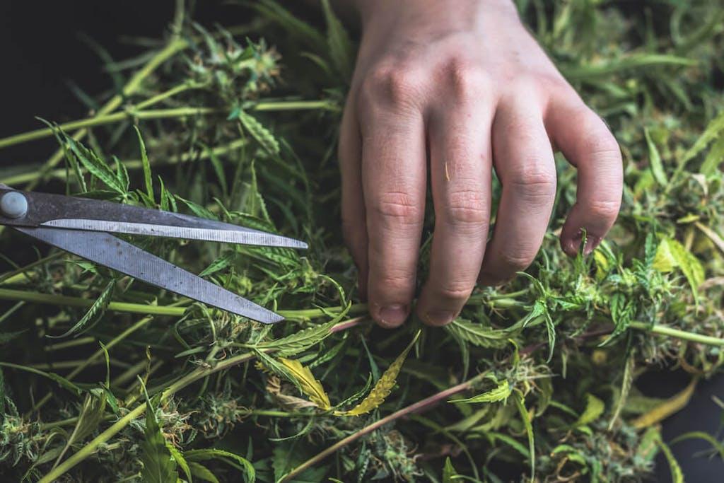 Trimming cannabis plants