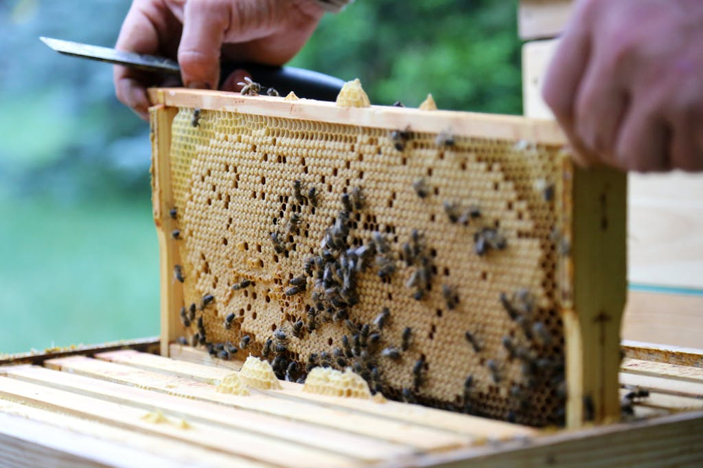 A beekeeper lifts bees out of a hive