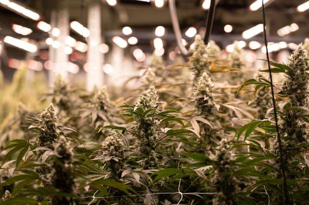 Cannabis being grown indoors under intense lighting