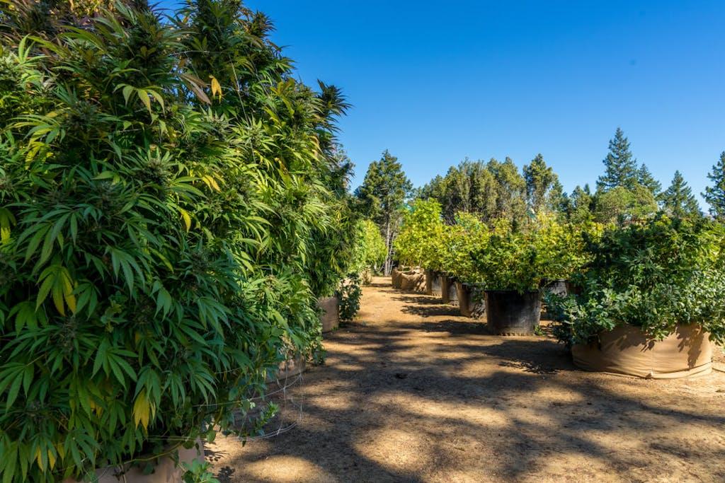 A cannabis farm in Northern California