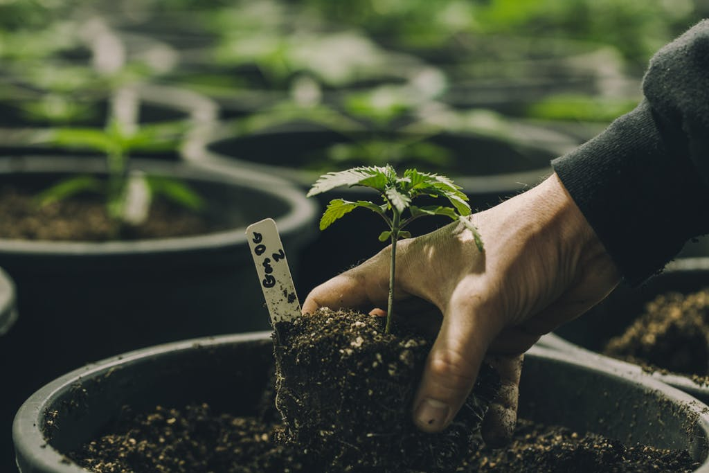 Growing cannabis plants at home