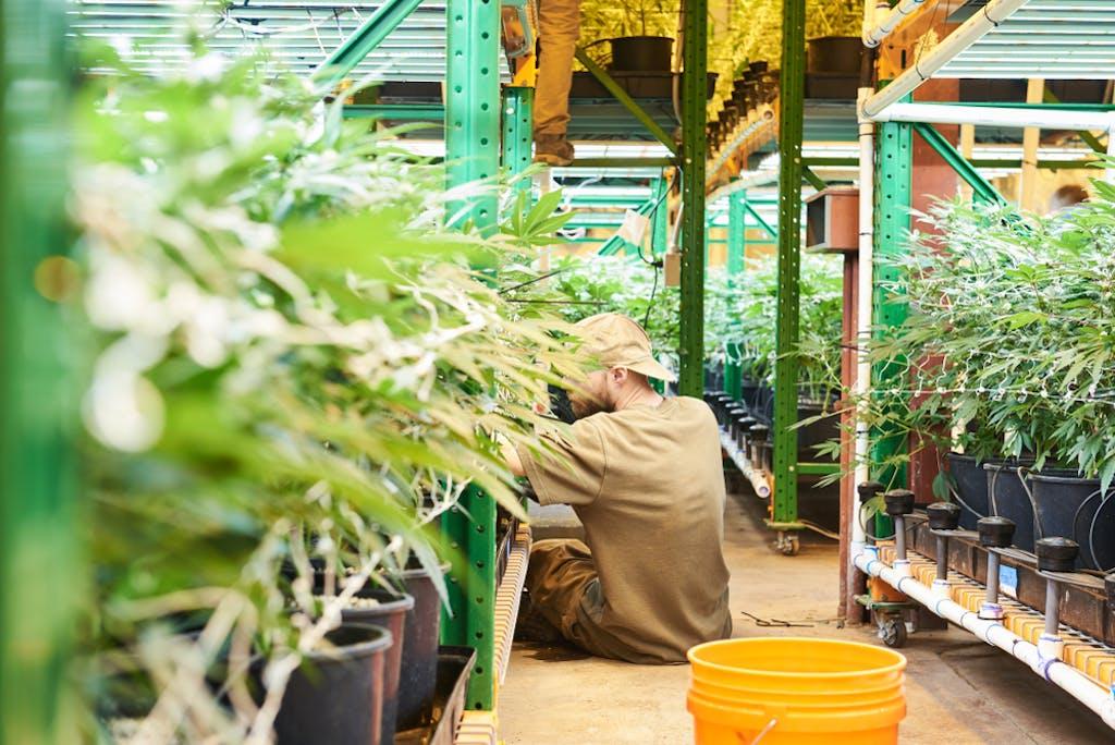 Cannabis being grown indoors at a vertical farm
