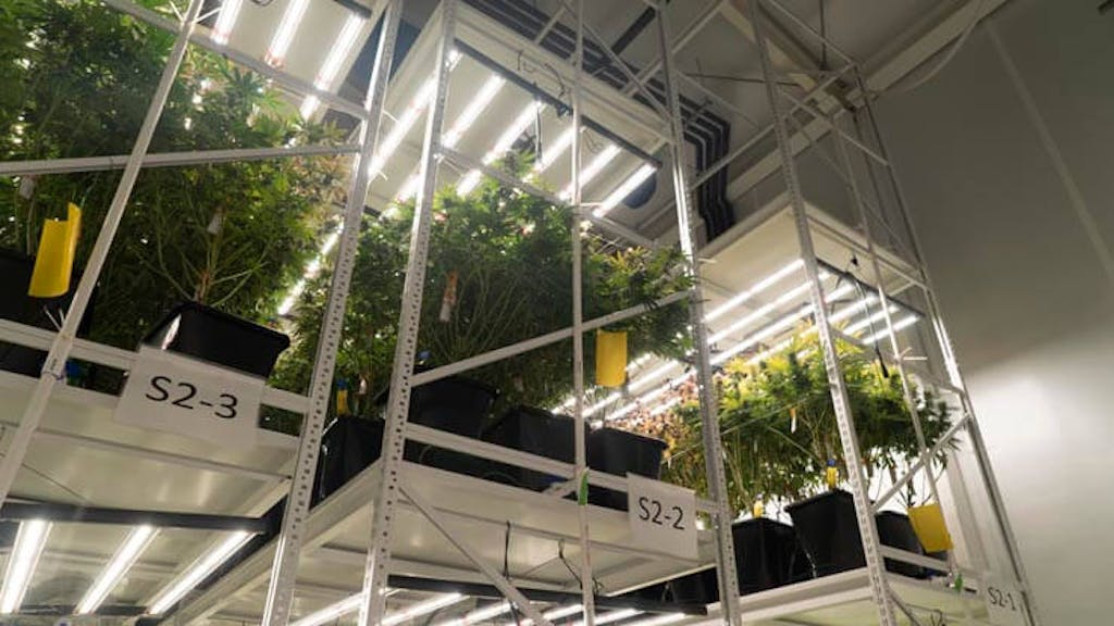 High intensity lights over cannabis plants at an indoor growing facility.