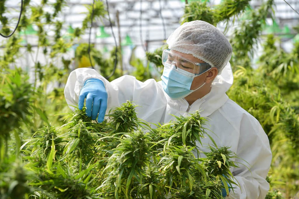 A scientist examines a cannabis plant at a research facility