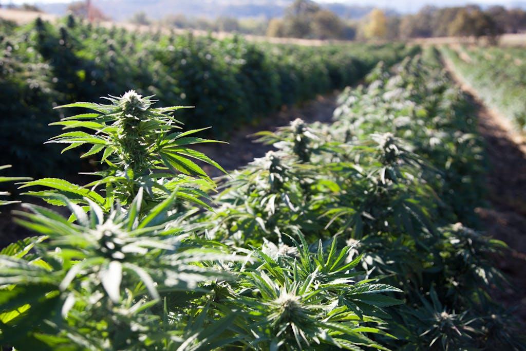 A field of hemp growing on a farm in Oregon