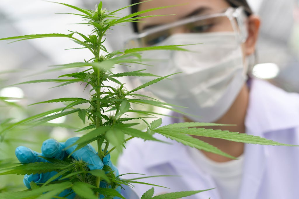 A grower examines a cannabis plant at an indoor facility